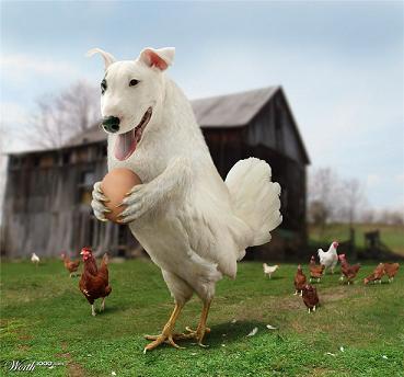 Mon chien est une poule, pas un loup : mythe ou réalité